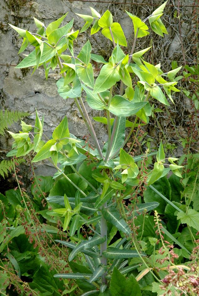 Herbe taupe planter et entretenir ooreka for Taupe dans le jardin
