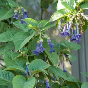 Iochroma à grandes fleurs (Iochroma grandiflorum)