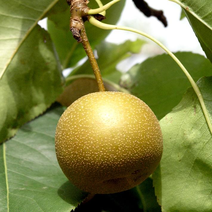 Nashi (Pyrus pyrifolia) 'Kumoi'