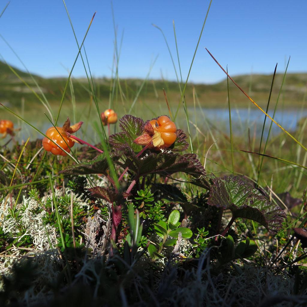 Plaquebière, ronce des tourbières, mûrier arctique (Rubus chamaemorus)