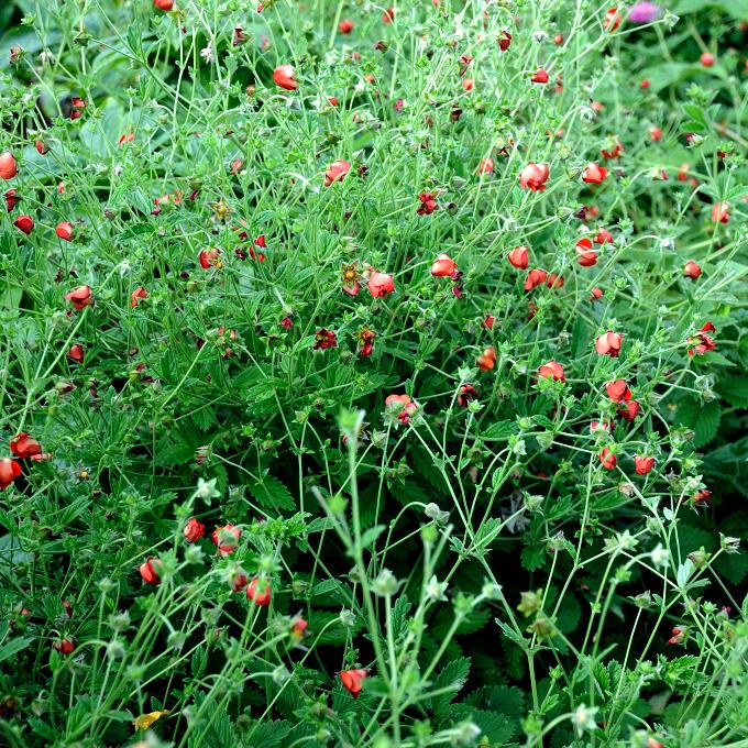 Potentille planter et tailler ooreka for Vivace floraison hivernale