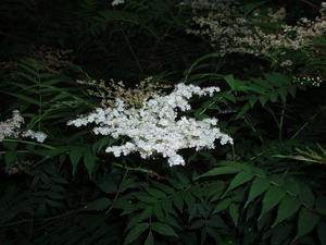 Plantation de <em>Sorbaria sorbifolia</em>