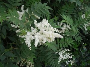 Multiplication de <em>Sorbaria sorbifolia</em>