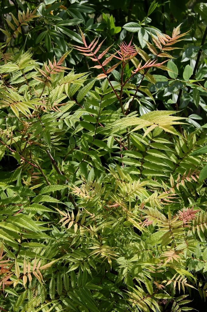 Sorbaria sorbifolia planter et entretenir ooreka for Trouver de l or dans son jardin