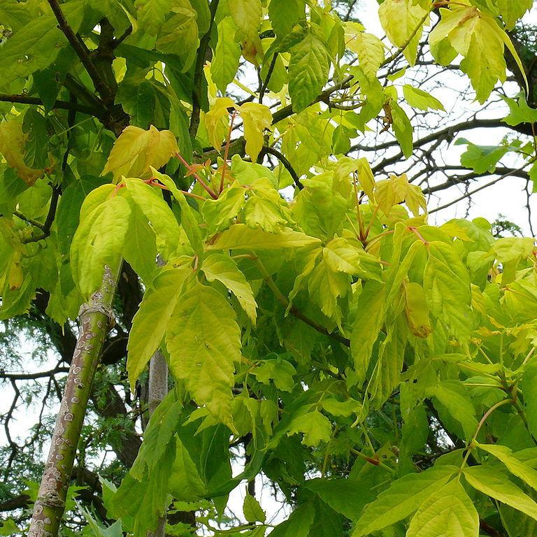 Érable negundo, érable negondo, érable à feuilles de frêne (Acer negundo) 'Auratum'