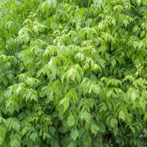 Érable negundo, érable negondo, érable à feuilles de frêne (Acer negundo) Espèce type