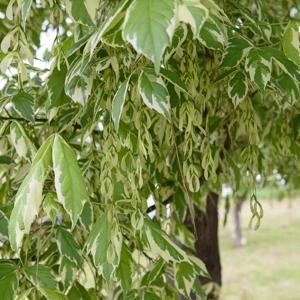 Érable negundo, érable negondo, érable à feuilles de frêne (Acer negundo) 'Variegatum'