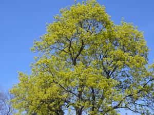 Plantation de l'<em>Acer platanoides</em>