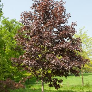 Érable plane (Acer platanoides) Érable pourpre, 'Crimson King' ou 'Schwedleri Nigra'