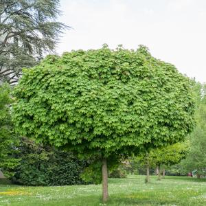 Érable plane (Acer platanoides) Érable boule ou 'Globosum'