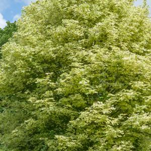Érable plane (Acer platanoides) 'Drummondii'