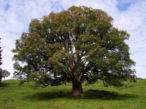 Culture et entretien de l'<em>Acer pseudoplatanus</em>