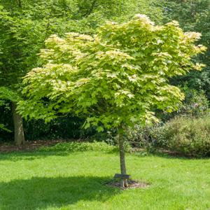 Érable sycomore (Acer pseudoplatanus) Espèce type