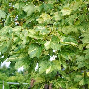 Érable sycomore (Acer pseudoplatanus) 'Variegatum'
