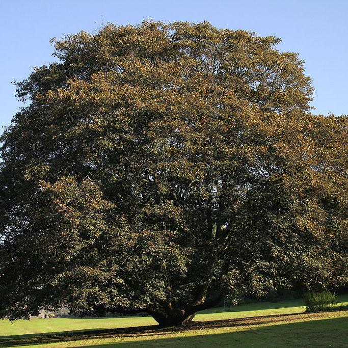 Érable sycomore (Acer pseudoplatanus) 'Atropurpureum'
