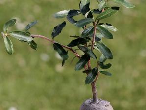 Plantation du <em>Fockea edulis</em>