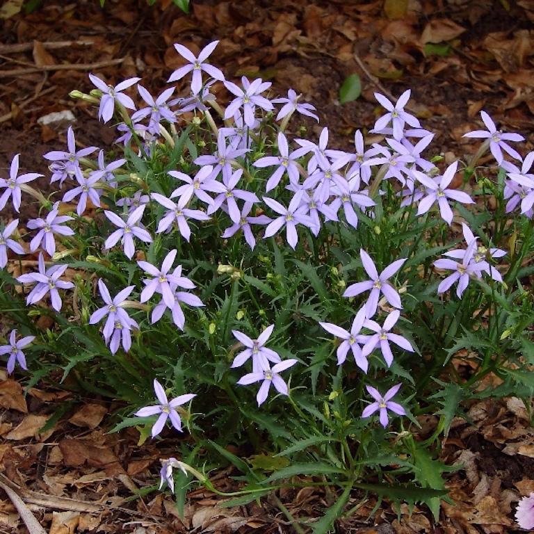 Solenopsis axillaris, syn. Isotoma axillaris, syn. Laurentia axillaris Espèce type