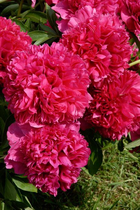 10 Pièces graines tenuifolia PIVOINE DOUBLE FLEURS à feuilles de fougère Rubra Plena jardin nouveau a