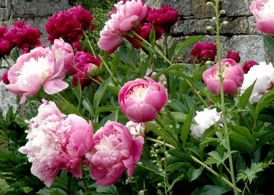 Pivoine planter et tailler ooreka - Faut il couper les pivoines apres floraison ...