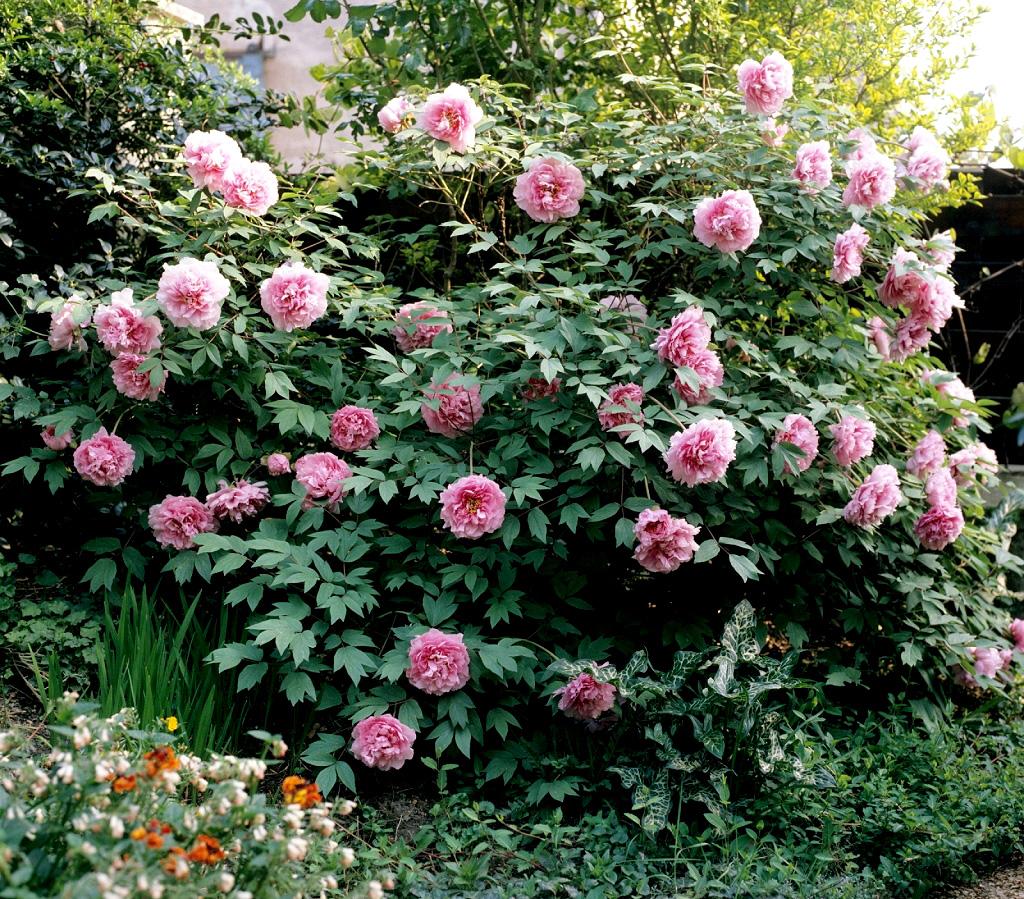 Pivoine planter et tailler ooreka - Taille des lauriers fleurs ...
