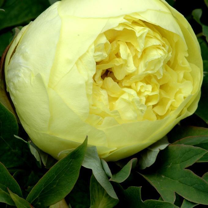 Pivoine arbustive Pivoine jaune (Paeonia delavayi f. lutea)