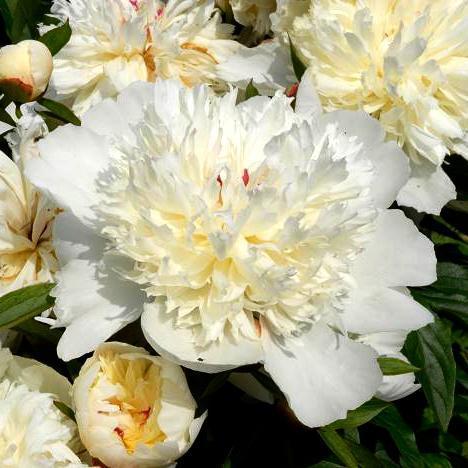 Pivoine herbacée Pivoine de Chine (Paeonia lactiflora) Espèce type