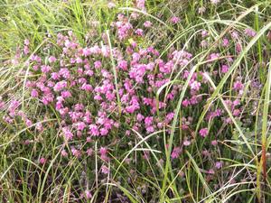 Plantation d'<em>Erica tetralix</em>