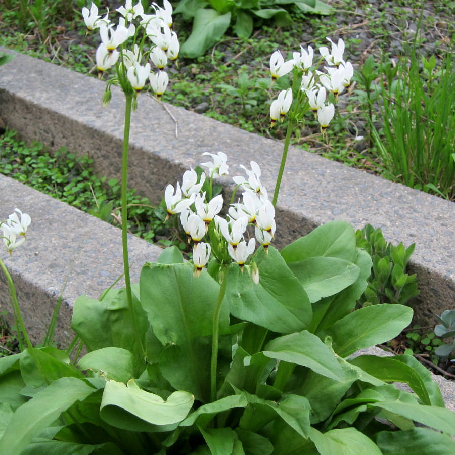 Gyroselle de Virginie (Dodecatheon meadia) 'Alba' ou 'Album'