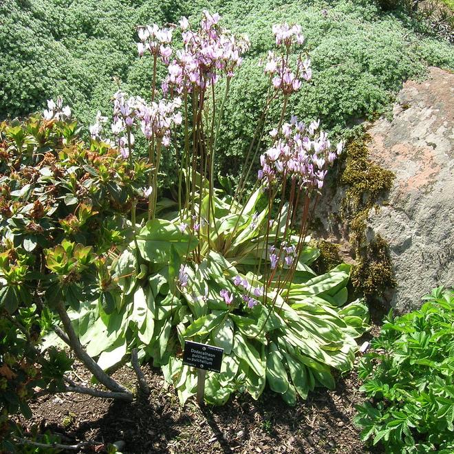 Dodecatheon pulchellum (syn. Dodecatheon pauciflorum) Espèce type