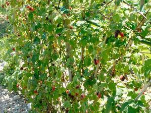 Semis et plantation de la ronce fruitière
