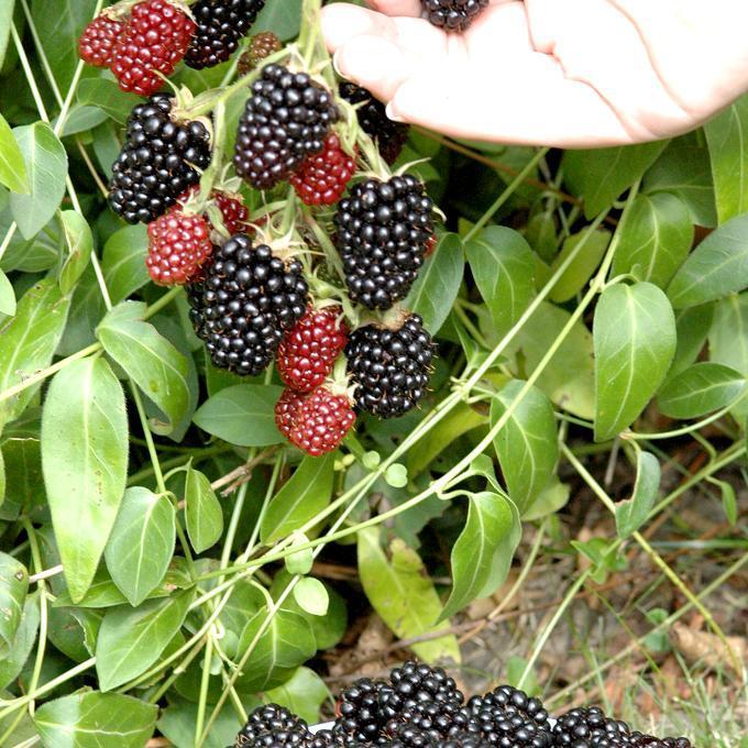 Rubus fruticosus 'Géante des jardins'