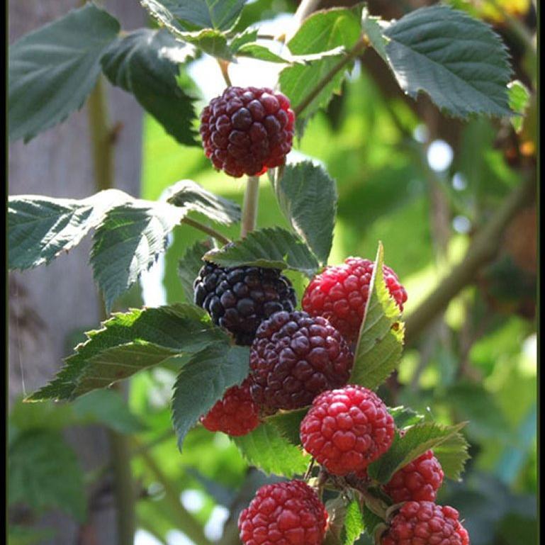 Rubus fruticosus 'Triple Crown'