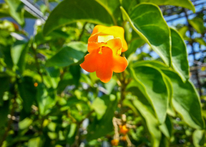 Plantation du <em>Juanulloa aurantiaca</em>