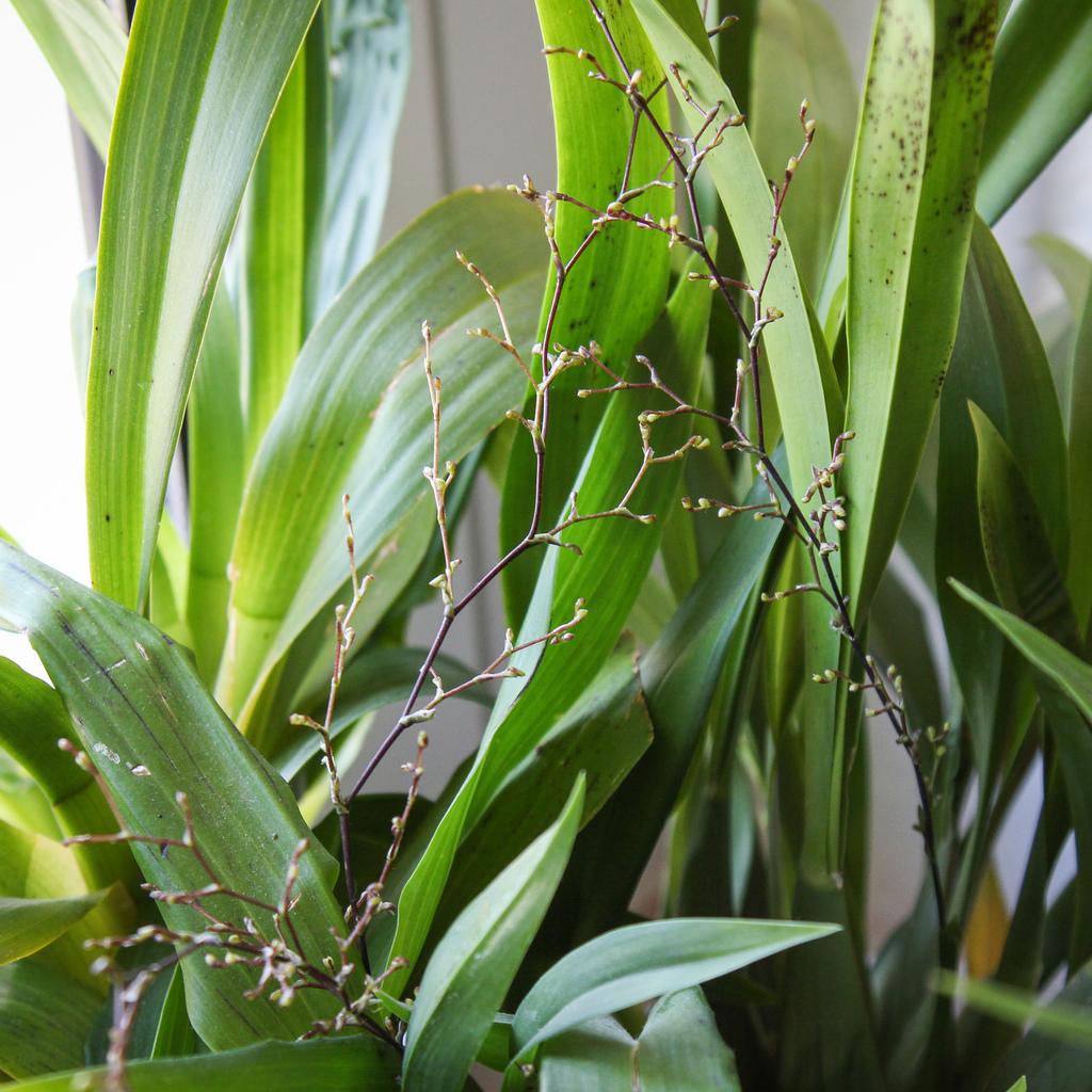 Oncidium ornithorrhynchum Espèce type