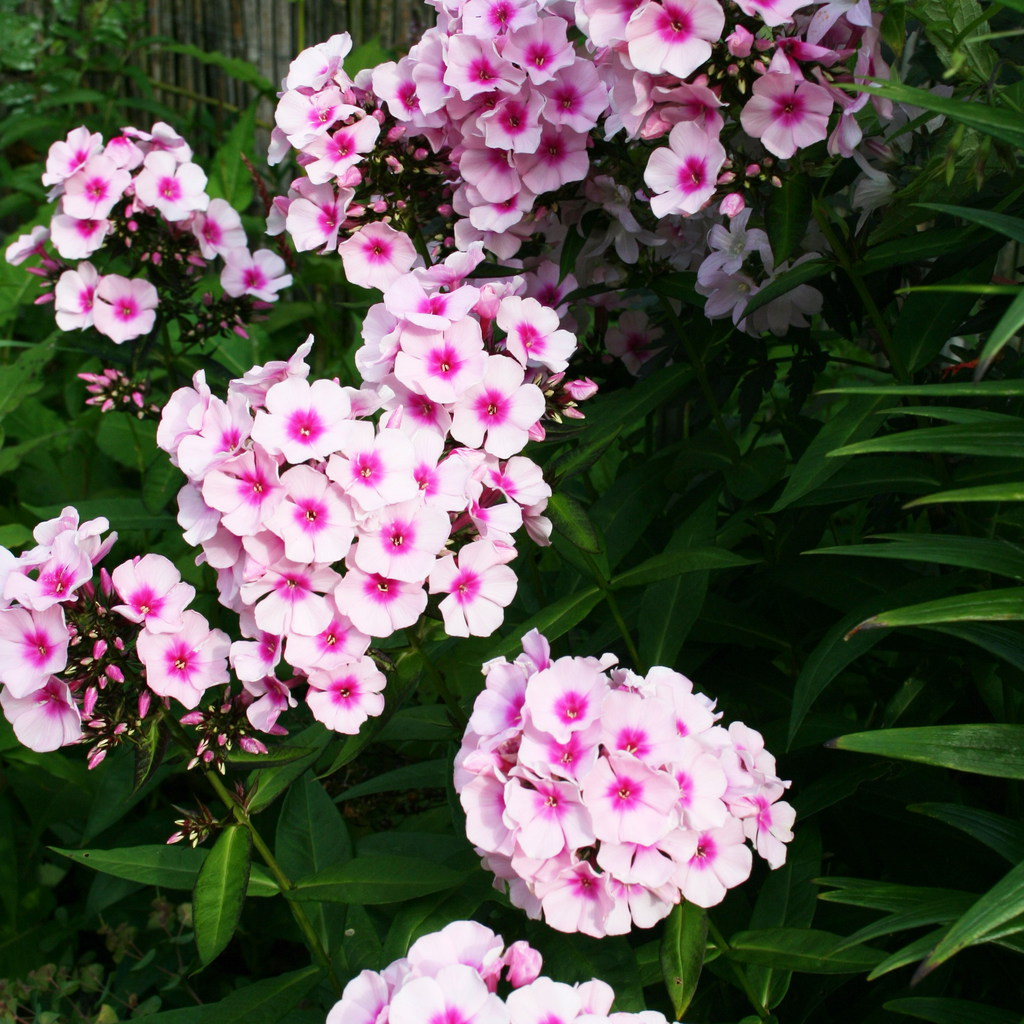 Phlox paniculata 'Elizabeth Arden
