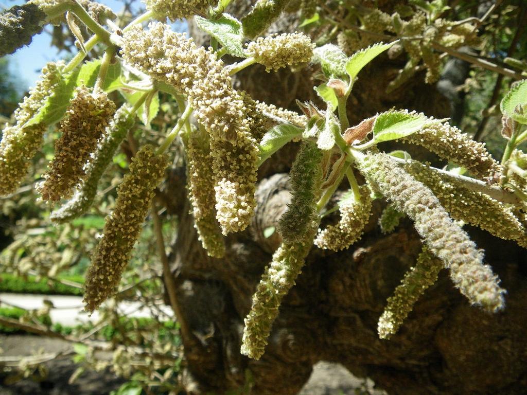 broussonetia papyrifera   planter et cultiver  u2013 ooreka