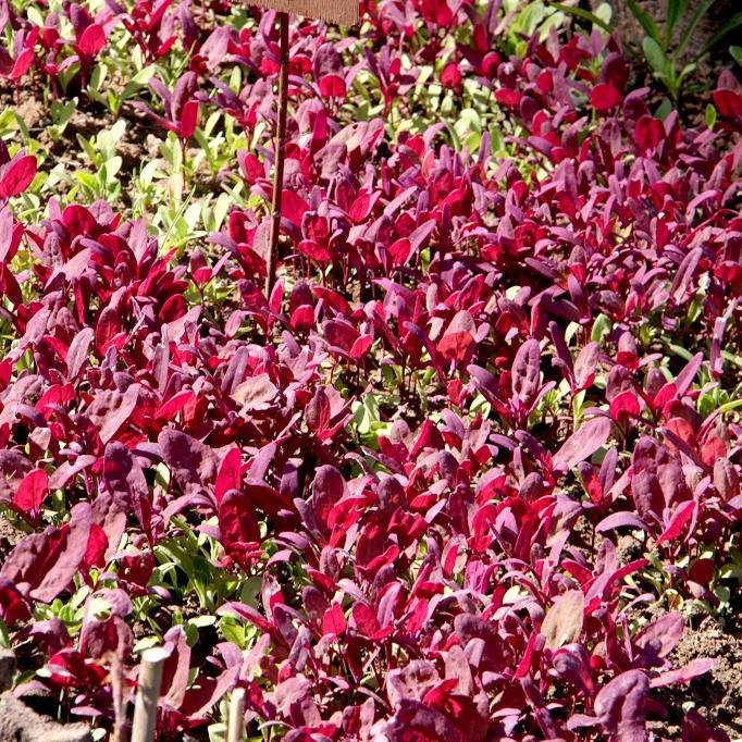Arroche semer et cultiver ooreka for Plante feuille rouge