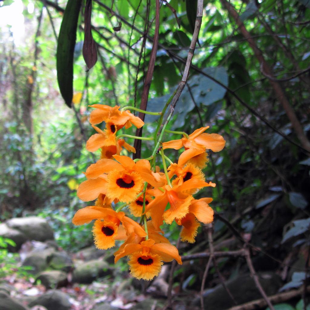 Dendrobium fimbriatum
