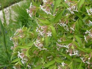 Multiplication de <em>Dipelta floribunda</em>