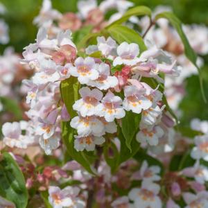 Dipelta florifère (Dipelta floribunda)