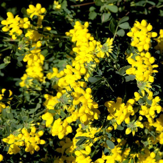 Buissonnant Caragana arborescens