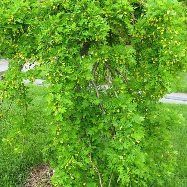 Pleureur Caragana arborescens 'Pendula' ou Caragana pleureur