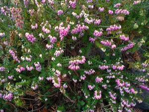 Plantation d'<em>Erica carnea</em>