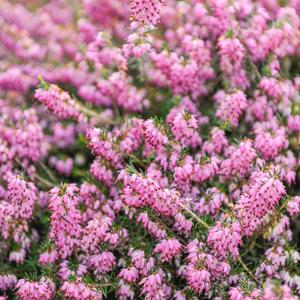 Erica carnea 'Pink Sangles'