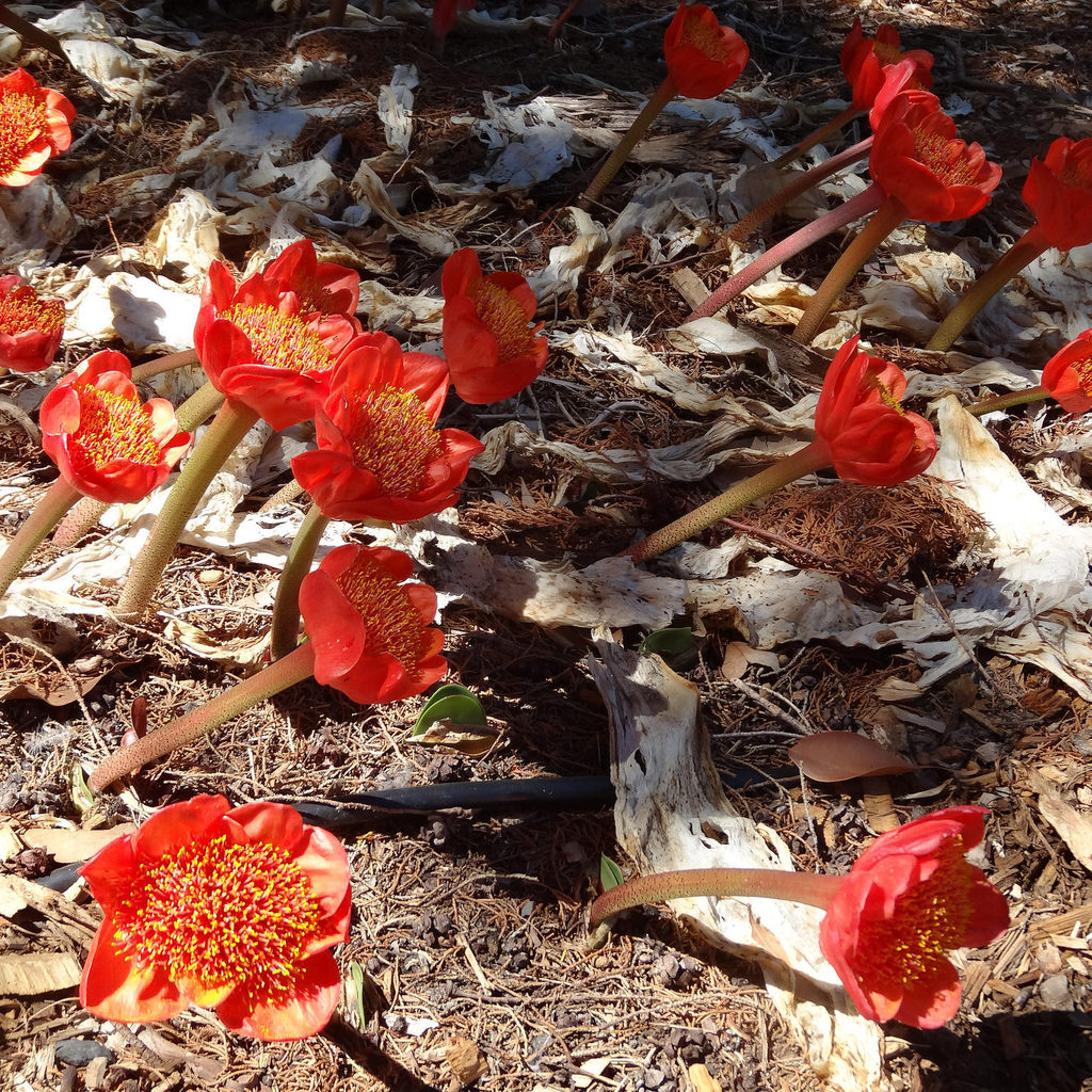 Haemanthus coccineus (Noms anglophones : blood flower, blood lily, paintbrush lily, april fool lily)