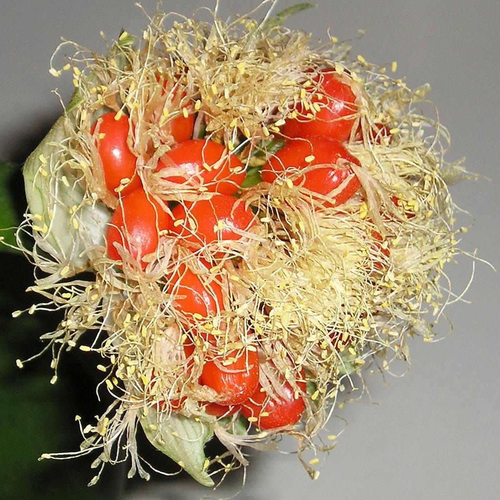 Haemanthus albiflos, syn. H. virescens, albomaculatus (Langue d'éléphant, oreille d'éléphant, noms anglophones: paintbruch, shaving brush plant)