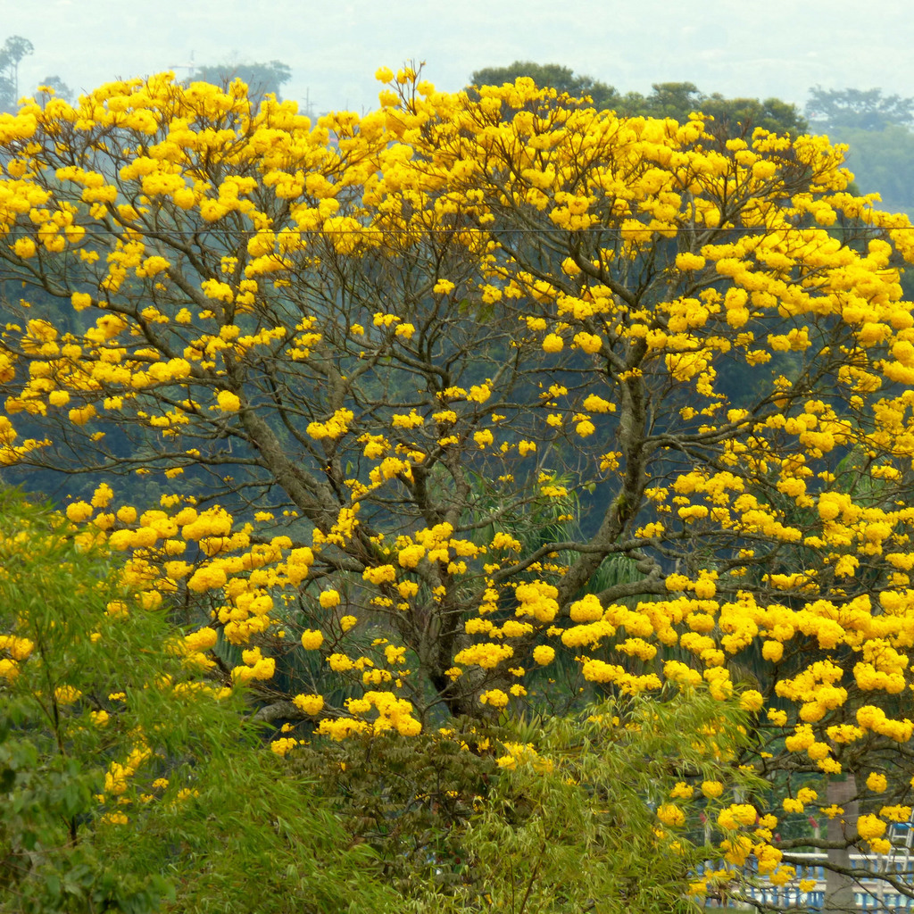 Araganey (Tabebuia chrysantha)