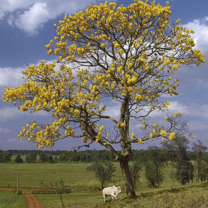 Arbre trompette dorée (Tabebuia chrysotricha)