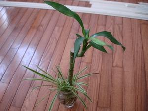 Semis et plantation du lucky bambou