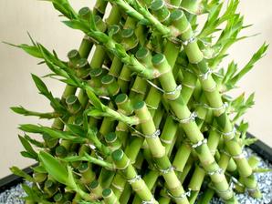 lucky bambou planter et entretenir ooreka. Black Bedroom Furniture Sets. Home Design Ideas